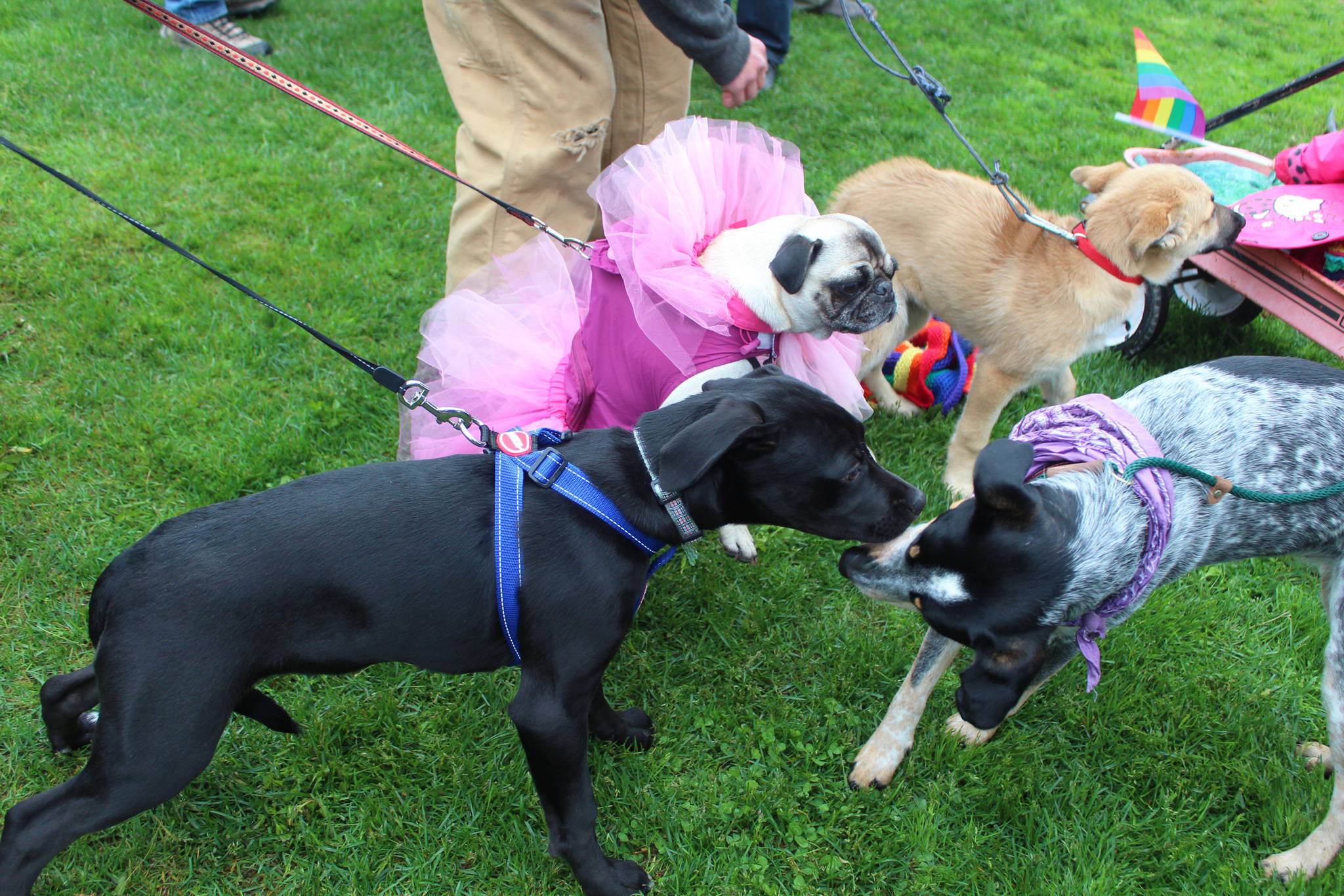 Several pups get to know each other and prepare for Homer's first Pride March on Saturday, June 23, 2018 at WKFL Park in Homer, Alaska. About 280 human participants showed up for the event. (Photo by Megan Pacer/Homer News)