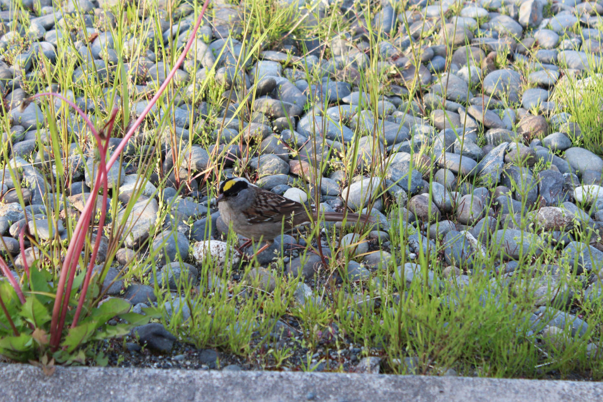 A golden crowned sparrow hops along through the gravel and grass just off Lake Street on Monday, June 23, 2018 in Homer, Alaska. (Photo by Megan Pacer/Homer News)