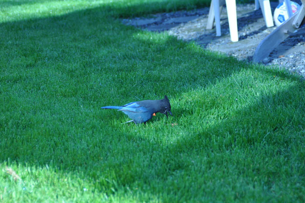 A Steller's jay shot with a blowgun dart feeds on the lawn near Dr. Ralph Broshe's home. Broshes was able to capture this jay and another shot jay and successfully remove the darts. The jays were released back into the wild.