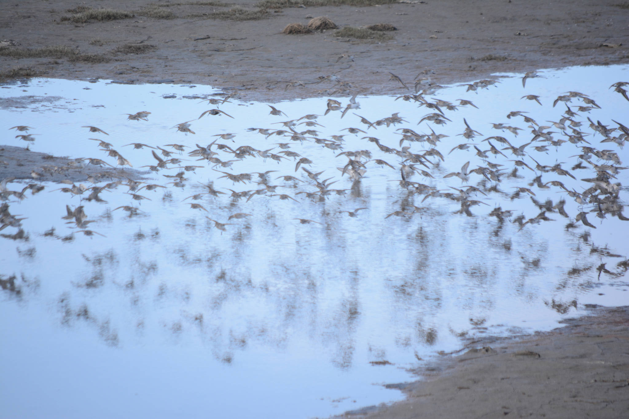 Shorebirds visit right on time