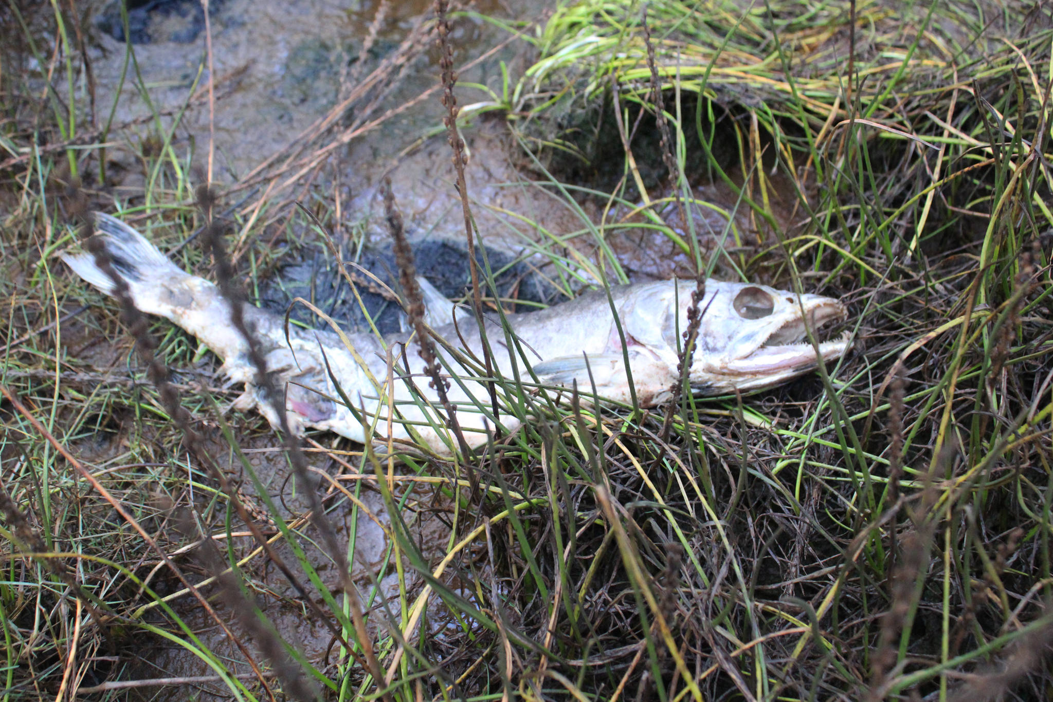 A dead fish decomposes in the Beluga Slough on Thursday, Sept. 28, 2017 in Homer, Alaska. A group of Paul Banks Elementary students got schooled in the ways of the slough and Beluga Lake during a field trip there last week. (Photo by Megan Pacer/Homer News)