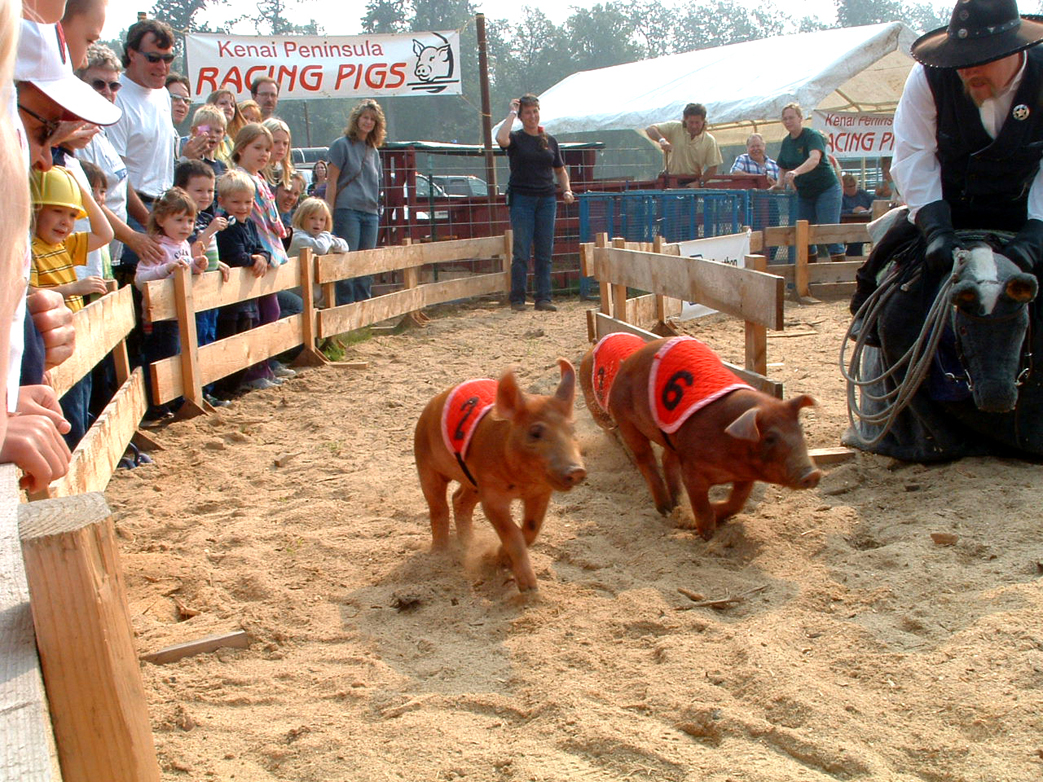 The crowd-pleasing Kenai Peninsula Racing Pigs are making a return to the Kenai Peninsula State Fair in Ninilchik Aug. 16-18. The six little piggies are set to entertain as they race around the track to the cheering of fair crowds just as these little running porkers did in 2006.-Photo by McKibben Jackinsky,  Homer News