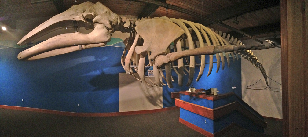 A 38-foot gray whale skeleton is the highlight of a new exhibit at the Pratt.-Photo provided