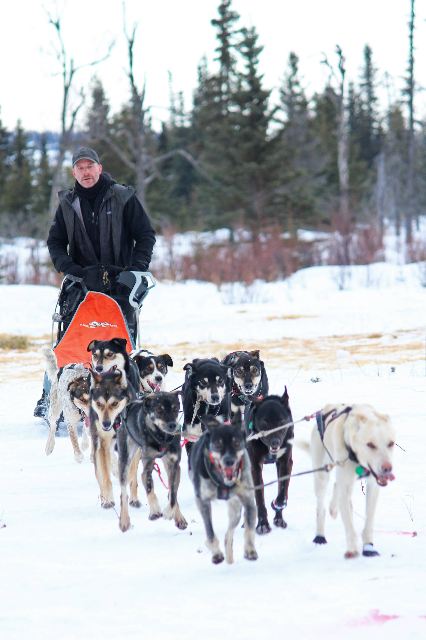 Musher Dave Turner pulls up to the finish line of the Tustumena 200 Sled Dog Race on Sunday, Jan. 27, 2019 at Freddie's Roadhouse near Ninilchik, Alaska. Turner took first place in the race that takes dog teams throughout the Caribou Hills on the lower Kenai Peninsula. (Photo by Megan Pacer/Homer News)