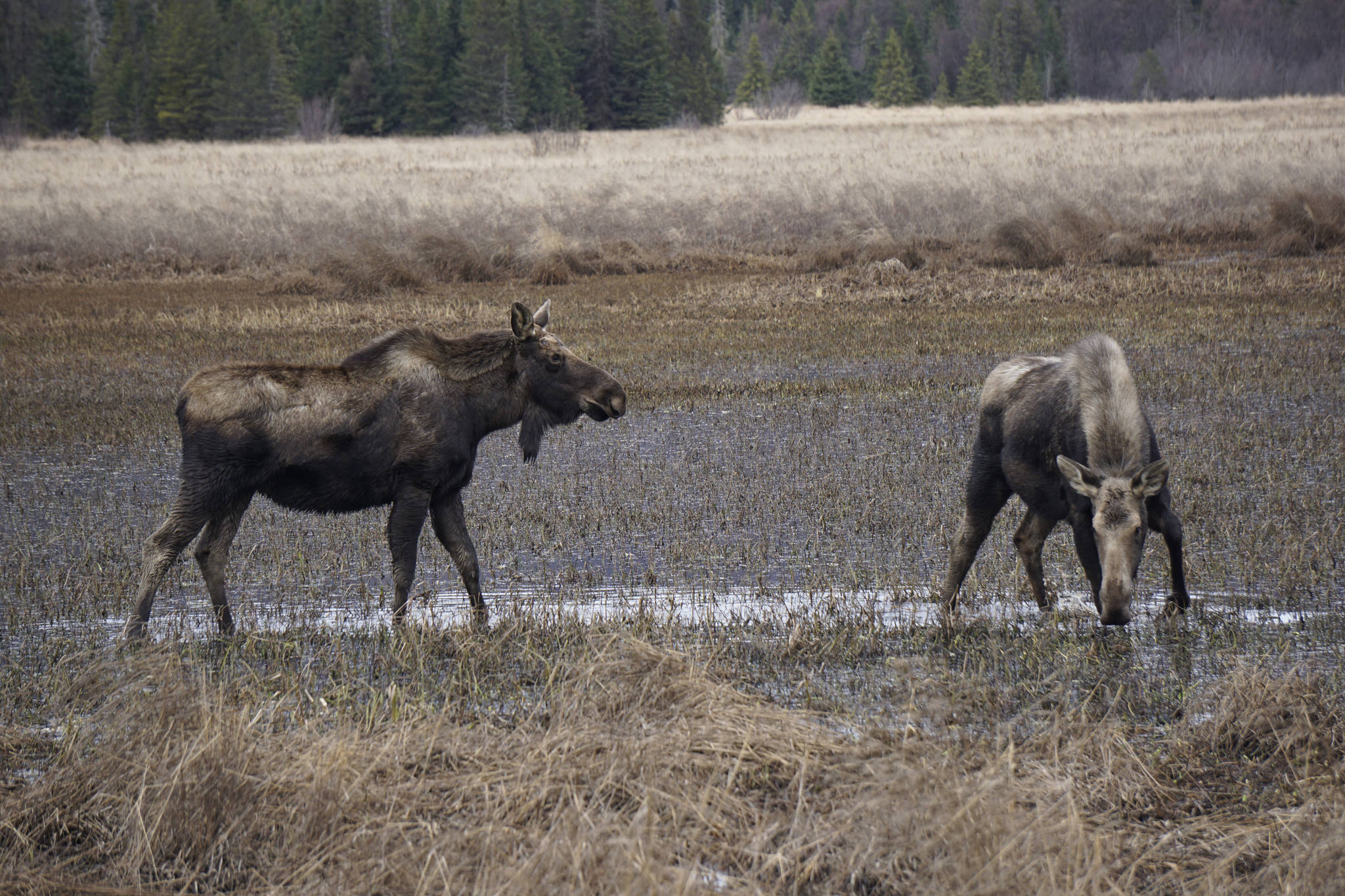 Two moose browse at the east end of Beluga Lake about 6 p.m. Thursday, April 11, 2019, as seen from the airport viewing platform at the end of FAA Road in Homer, Alaska. The moose were among a group of five feeding in the marsh. (Photo by Michael Armstrong/Homer News)