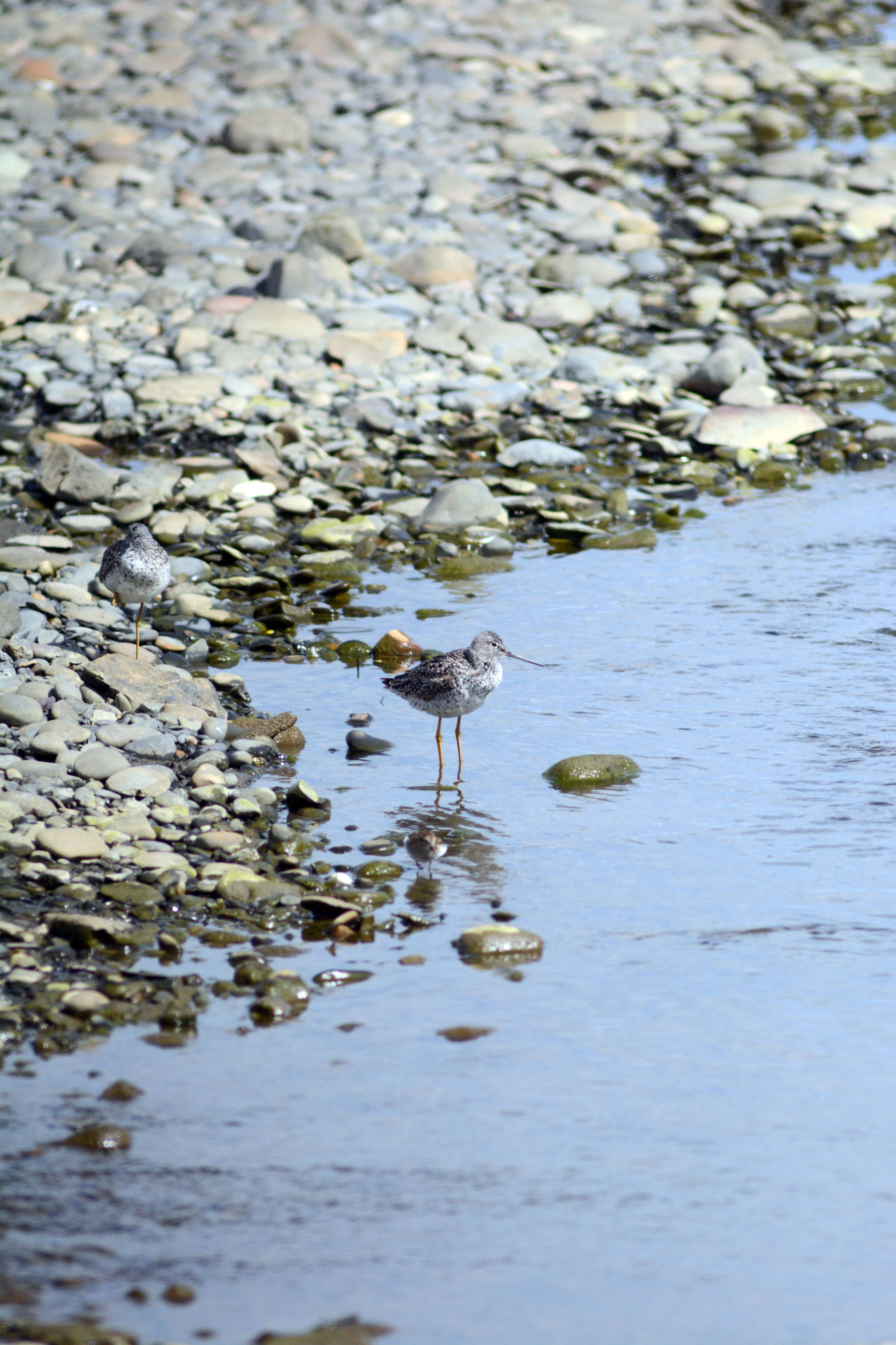 Two yellowlegs feed at Beluga Slough with a western sandpiper on May 11, 2019, in Homer, Alaska, during the Kachemak Bay Shorebird Festival. (Photo by Michael Armstrong/Homer News)