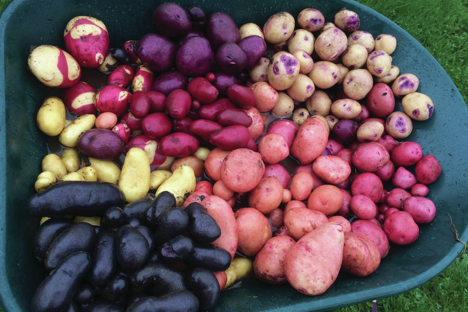 Jane Wiebe's wheelbarrow of lovely tubers will cause any potato aficionado's heart to sing. The photo was taken on Oct. 7, 2019, in Homer, Alaska. (Photo by Jane Wiebe)