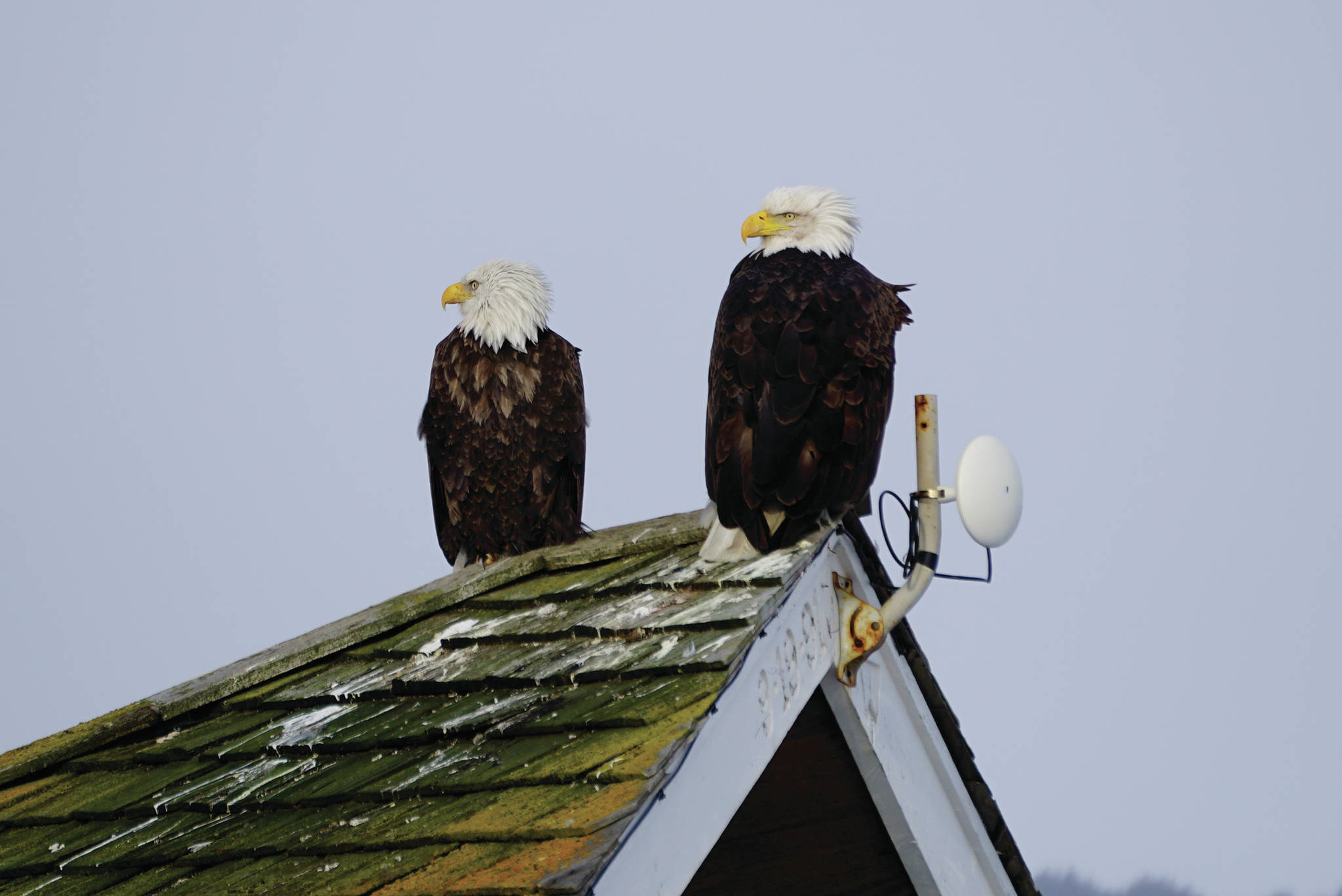 A pair of bald eagles sit on top of a house roof on Valentine's Day, Feb. 14, 2020, on the Homer Spit in Homer, Alaska. (Photo by Michael Armstrong/Homer News)