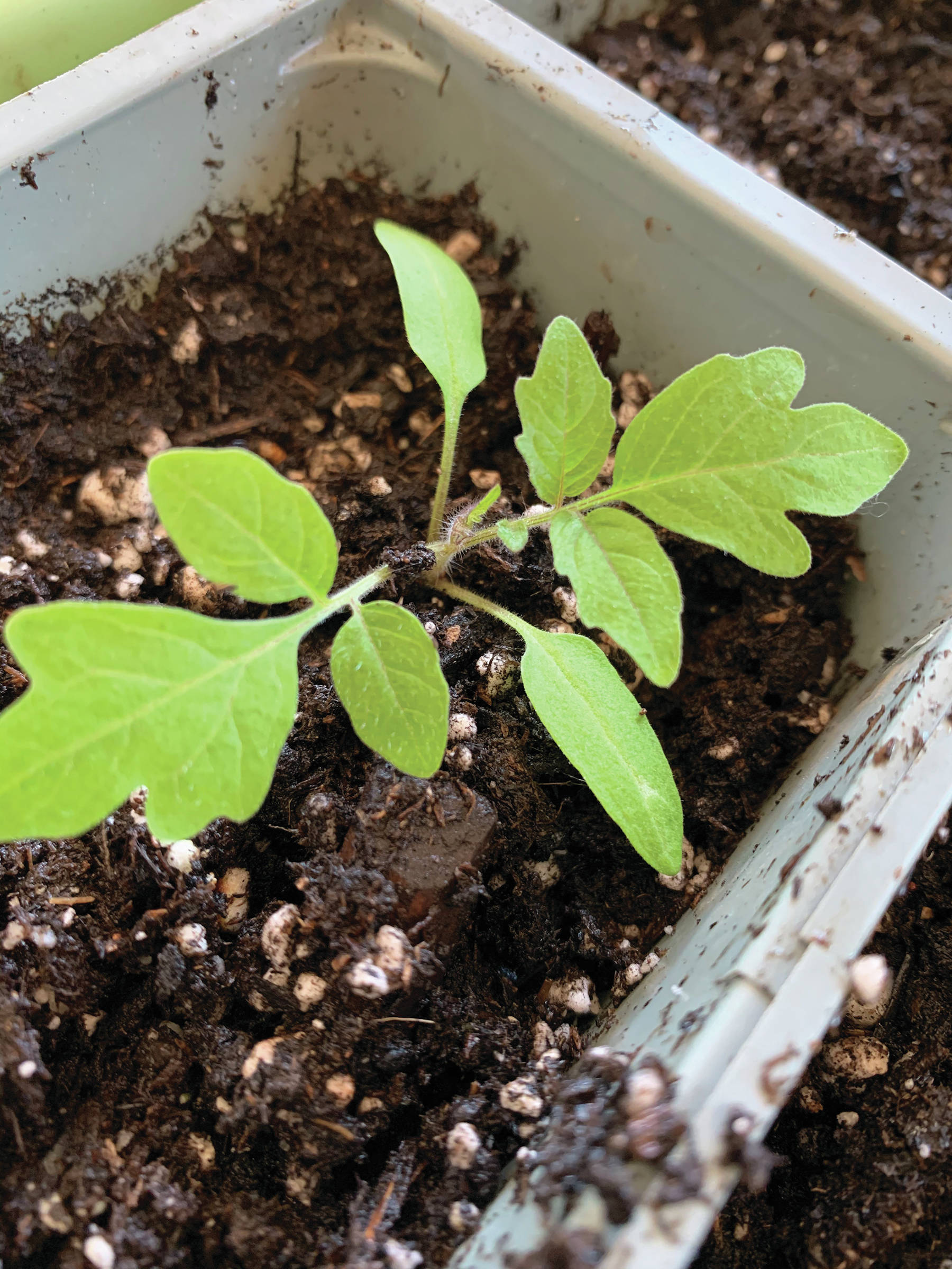 "Photo by Rosemary Fitzpatrick                                 ""And so it begins, a nascent Black Japanese Trefele tomato seedling, full of promise,"" writes the Kachemak Gardener of a photo of this start taken on March 14 at her Homer home."