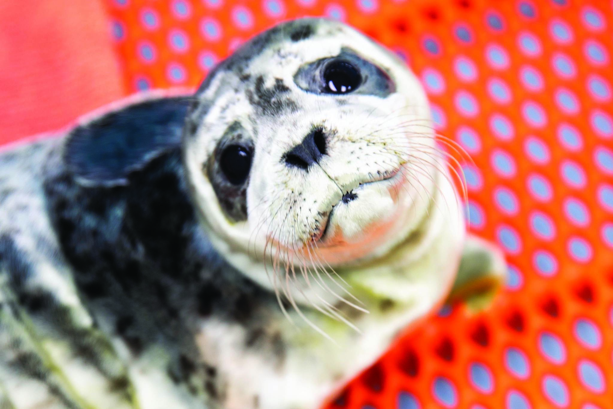 One of the recently rescued harbor seal pups is seen here at the Alaska SeaLife Center in Seward, Alaska in this undated photo. (Courtesy Chloe Rossman/Alaska SeaLife Center)