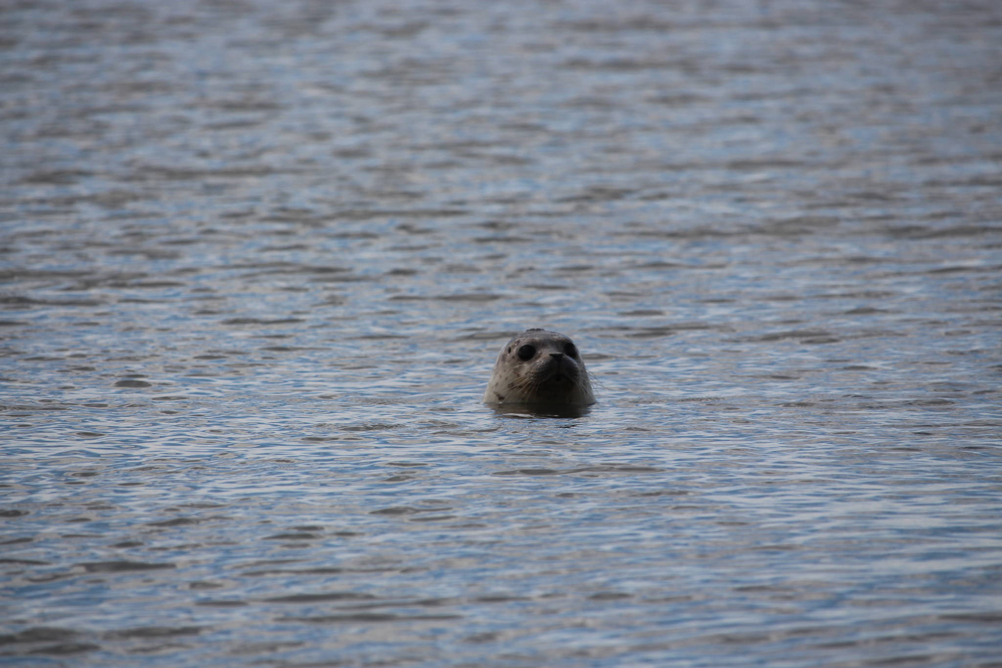 A harbor seal enjoys the waters of Cook Inlet after being released by staff from the Alaska SeaLife Center at the Kenai Beach on Aug. 27, 2020. (Photo by Brian Mazurek/Peninsula Clarion)