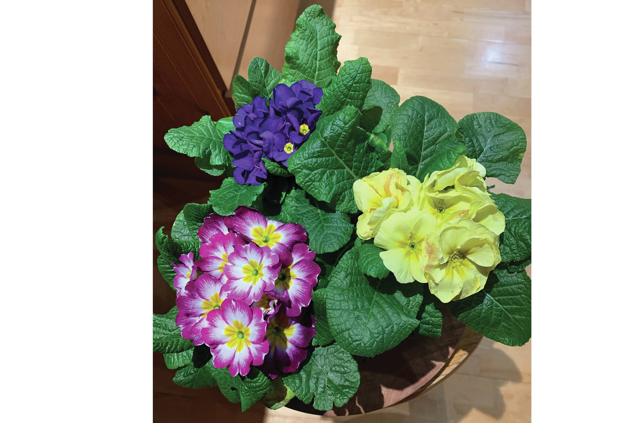 """These primulas were not to be resisted,"" the Kachemak Gardener says of these flowers blooming in her Homer, Alaska, home on Feb. 2, 2021. ""They will enhance the dining room table and then, come spring, find a home in the East Garden."" (Photo by Rosemary Fitzpatrick)"