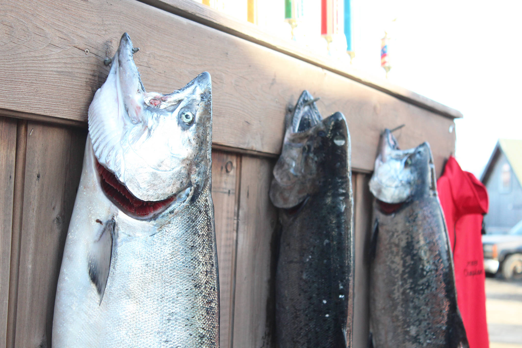 The top three fish of this year's Winter King Salmon Tournament hang on a wall before a closing ceremony announcing the winners Saturday, March 24, 2018 on the Spit in Homer, Alaska. This year's winning fish weighed 24.6 pounds. (Photo by Megan Pacer/Homer News)