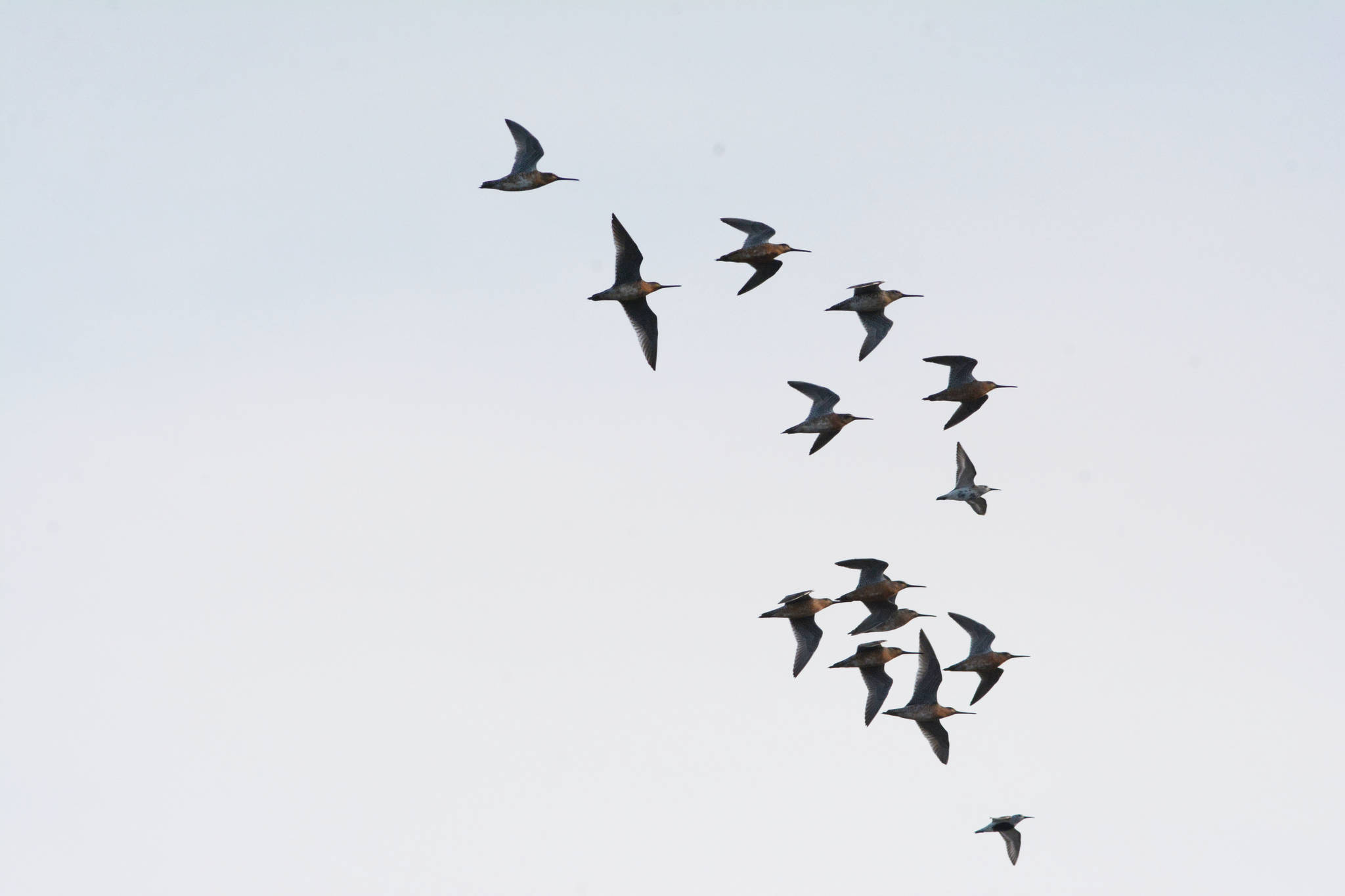 Long-billed dowitchers fly on Saturday, May 1, 2021, at Mud Bay near the Homer Spit in Homer, Alaska. The birds were one of several species of shorebirds seen in Mud Bay over the weekend that included bar-tailed godwits, western sandpipers, dunlins and Pacific plovers. (Photo by Michael Armstrong/Homer News)
