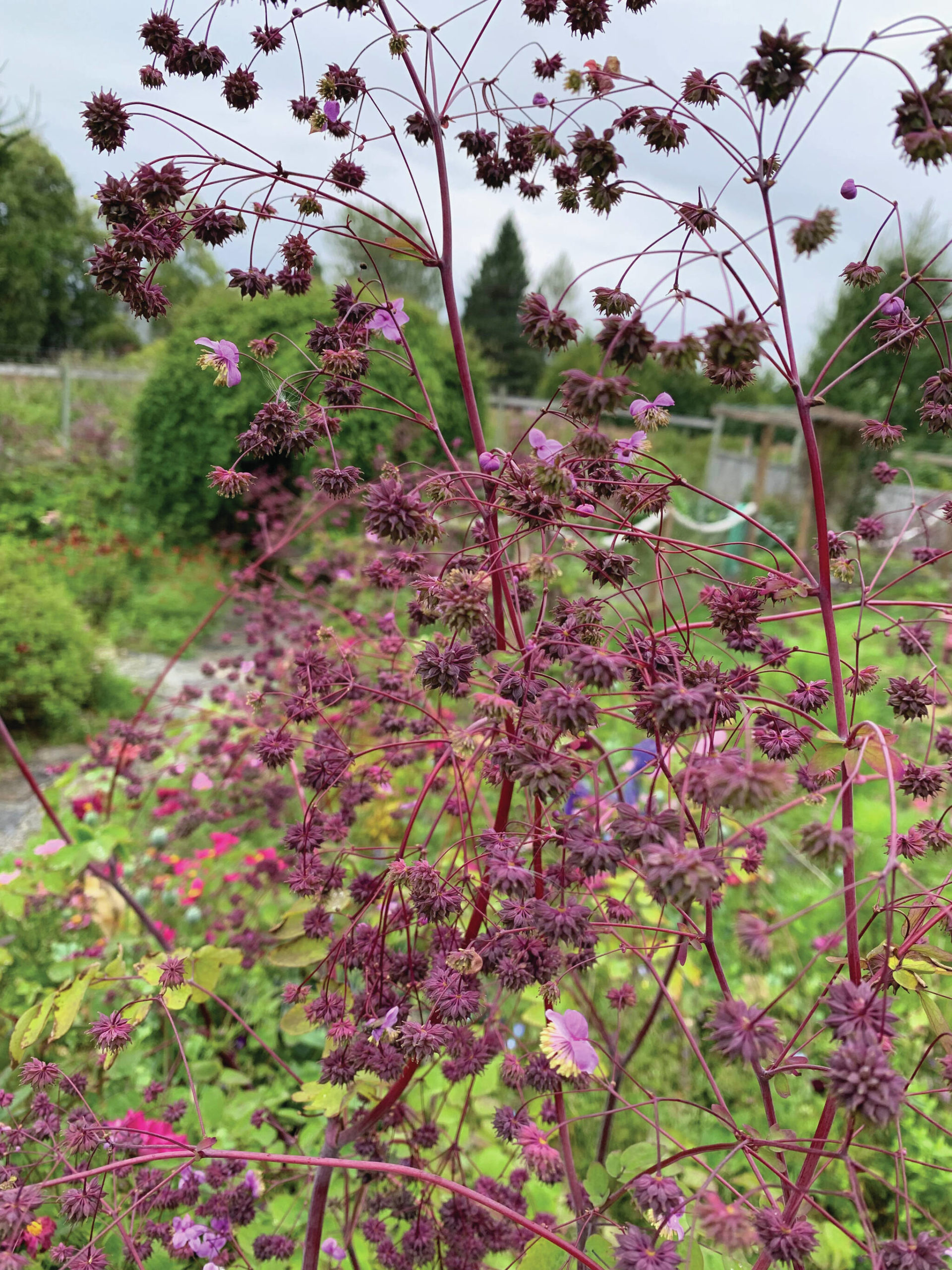 Thalictrum seed heads are just waiting to make way too many seedlings. (Photo by Rosemary Fitzpatrick)