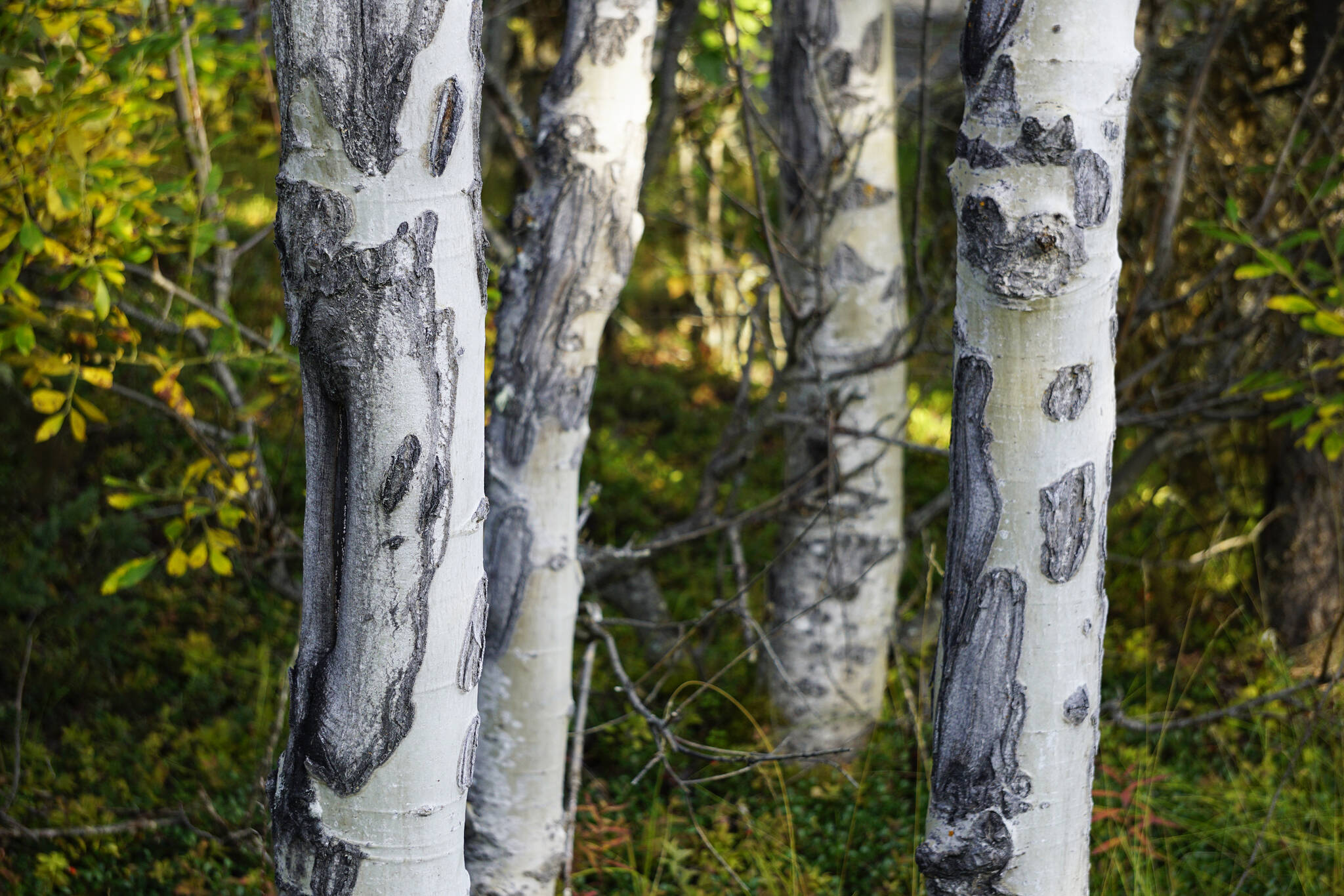 Scars on birch trees create abstract shapes on Saturday, Sept. 11, 2021, at the Hidden Lake Campground in the Kenai National Wildlife Refuge near Sterling, Alaska. (Photo by Michael Armstrong/Homer News)